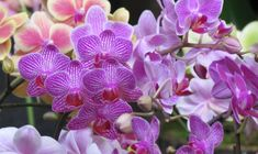 Annual Morongo Basin Orchid Festival - that's right, orchids in the middle of the desert in Landers, CA! Orchid Pot, Moth Orchid, Phalaenopsis Orchid, Orchid Plants, Orchids, Mothers Day Roses, Mothers Day May, Mothers Day Special, Happy Mother S Day