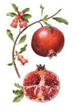 pomegranate botanical drawing - Google Search