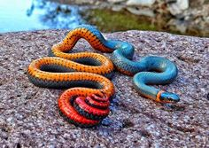 The Ring-necked Snake or Ring-neck Snake, Diadophis punctatus, is a species of colubrid snake found throughout much of the U.S, central Mexico, and southeastern Canada.