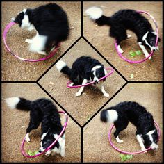 "Submitted by Jessica / ""my dog Speckles showing off his hula hooping skills"" / hoopsupplies.com"
