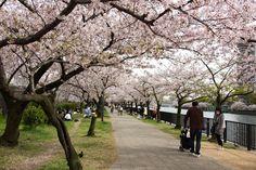 https://flic.kr/p/FZ2tK9 | Cherry Blossoms, Kema-Sakuranomiya-koen Park, Osaka, 2016 | 毛馬桜之宮公園