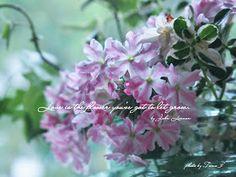 道のりを記憶に残して: 庭の花摘みダイアリー 光に透けた花びら、宿根バーベナ-キャンディストライプ&2月のさくら草/植物・ガーデニングフォト