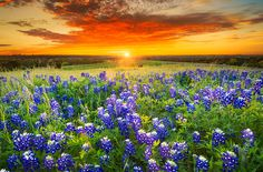 Sunset on Sugar Ridge Road, Ennis, TX. Texas pasture filled with bluebonnets at , Beautiful Sunset, Beautiful World, Amazing Sunsets, Beautiful Scenery, Beautiful Landscapes, Beautiful Images, Texas Sunset, Texas Bluebonnets, Star Wars