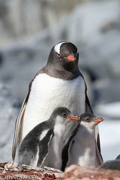 Gentoo Penguin and chicks Penguins make great mothers Llamas Animal, Arctic Animals, Nature Animals, Animals And Pets, Baby Animals, Cute Animals, Penguins And Polar Bears, Cute Penguins, All Gods Creatures