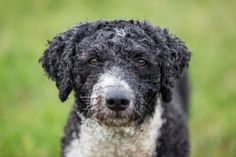 Spanish Water Dog - Dogs That Won't Make You Sneeze