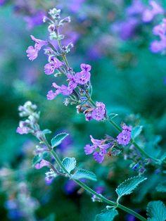 hardy perennial plant supplied in a half litre pot Nepeta x faassenii Kit Cat a garden tested aka cat mint
