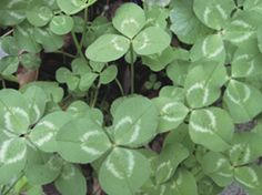 White Clover was used medicinally by the Native American Indians. The flowers were used as blood cleansers, and to clean boils and wounds. Tea made from the flowers were used to treat eye ailments. A decoction was used to treat coughs, colds, fevers and leucorrhea. A tincture of the leaves was used as an ointment for gout.