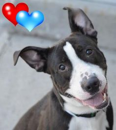 ★11/22/15 STILL THERE★Brooklyn Center BEST – A1057770 MALE, BLACK / WHITE, AM PIT BULL TER MIX, 8 mos OWNER SUR – EVALUATE, NO HOLD Reason LLORDPRIVA Intake condition UNSPECIFIE Intake Date 11/13/2015 http://nycdogs.urgentpodr.org/best-a1057770/