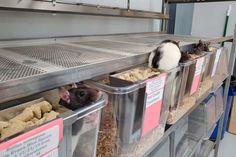 Professor encaminha ratos de laboratório para adoção após término dos estudos - GreenMe.com.br Professor, Biology Major, Lab Rats, University Of Wisconsin, Anatomy And Physiology, Green Bay, 20 Years, College, Homes