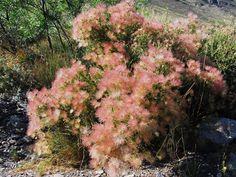 Apache plume - Fallugia paradoxa nitrogen fixing shrub with blooms similar to mimosa.