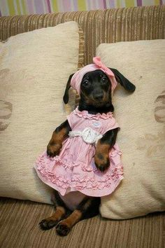 .Doxie dress-up.