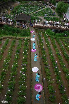 Itako Iris Festival, Ibaraki, Japan