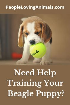 Doggy Dan's Perfect Puppy Program is the best way to train a Beagle puppy. It's super effective and affordable and covers all puppy training issues. Puppy Training, Dog Training