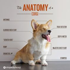 The Anatomy of a Corgi