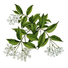 botanical illustration jasmine - Google Search