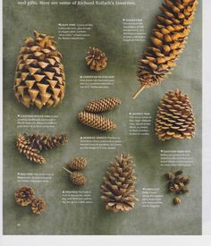 Arts And Crafts For 2 Year Olds Refferal: 6720026776 Pine Cone Art, Pine Cone Crafts, Pine Cones, Acorn Crafts, Tree Identification, Crafts For Seniors, Forest School, Nature Crafts, Pine Tree