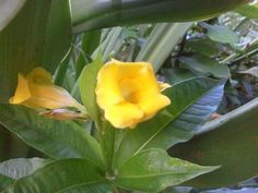 Allamanda - Today in the gardens - 8-30-2013