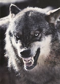 Creative Dogs and Wolf image ideas & inspiration on Designspiration Beautiful Wolves, Animals Beautiful, Cute Animals, Wild Animals, Wolf Images, Wolf Pictures, Wolf Spirit, My Spirit Animal, Wolf Hybrid