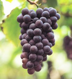 Black Spanish Bunch Grape Vine:  one leg of the pergula
