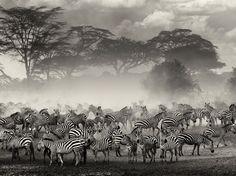 http://images.nationalgeographic.com/wpf/media-live/photos/000/655/cache/zebra-river-serengeti_65530_990x742.jpg