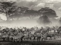 Zebras, Serengeti Photo: Giulio Zanni  Image taken in the Serengeti in Tanzania during the migration period. Zebras and wildebeest were gathering on the edge of the river, waiting for the right moment to cross.
