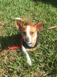 Check out Suzie Q's profile on AllPaws.com and help her get adopted! Suzie Q is an adorable Dog that needs a new home. https://www.allpaws.com/adopt-a-dog/terrier-mix-chihuahua/3711317?social_ref=pinterest
