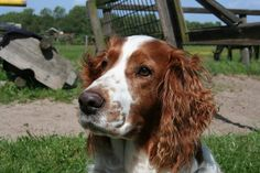 Welsh springer spaniël - Alles over hondenrassen ✓ Great Danes, Welsh Springer Spaniel, Bearded Collie, Natural Instinct, Working Dogs, Family Dogs, Yorkshire Terrier, Dog Breeds, Animals