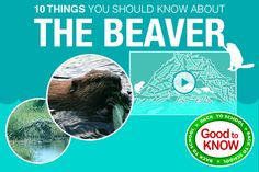 10 THINGS YOU SHOULD KNOW ABOUT THE BEAVER  http://paddythebeaver.com/webisodes/514-10-things-you-should-know-about-the-beaver