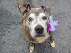 GONE --- TO BE DESTROYED 5/15/14  Manhattan Center    My name is CLEOPATTRA. My Animal ID # is A0999394.  I am a female gray and white pit bull mix. The shelter thinks I am about 8 YEARS old.   I came in the shelter as a STRAY on 05/10/2014 from NY 10466, owner surrender reason stated was STRAY.   https://www.facebook.com/photo.php?fbid=803147573031457&set=a.617938651552351.1073741868.152876678058553&type=3&permPage=1