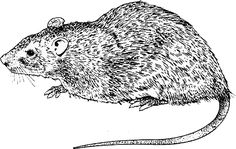 drawing rat - Google Search