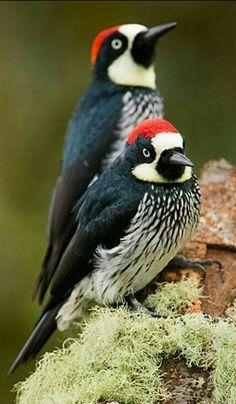 Acorn Woodpeckers. Google