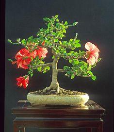 30 year old hibiscus bonsai