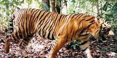 PETITION, PLEASE SIGN AND SHARE! Save the Wild Tigers in Vietnam