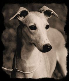 Whippet love! Miss you, Rounder Grimsley!