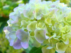hydrangea by baslee troutman