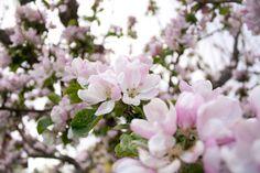 Garden, Trädgård, Äppelträd, Småland, Vår, Blommor