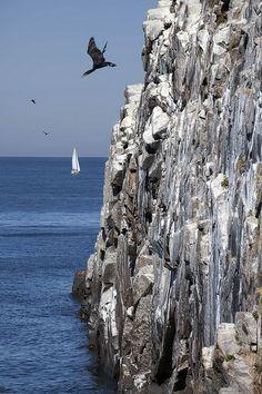 Rock-diving cormorant at Johns Kapel, Bornholm