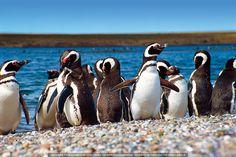 Magellanic penguins at Punta Tombo, Chubut, Argentina