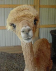 Sweetest Alpaca face evah! (from Owning Alpacas as Pets | That'll Do Farm)