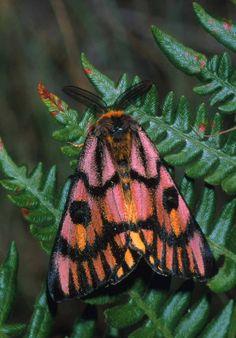From Go ahead, BUG me on Facebook Hemileuca eglanterina; Elegant Sheep Moth Image: William Leonard