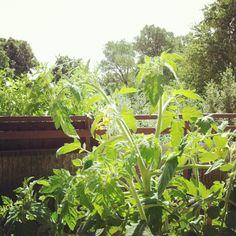 """@annakuechenzeilen's photo: """"Den Tomaten beim Wachsen zuschauen."""""""