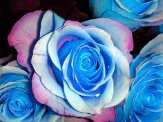 Flower seeds 100Pcs seeds BLUE STRIPE ROSE RARE ROSE ROSE BUSH BLUE WHITE DRAGON