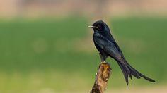 Black drongo by Awais Mustafa on 500px