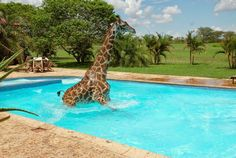 z- Giraffe Enjoying Afternoon Swim, Tanzania