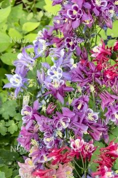 European Columbine 'Winky Mixed' (Aquilegia vulgaris)