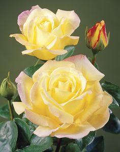 Rugelda Climbing Rose