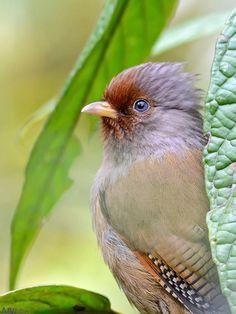 Rusty-fronted Barwing;  Scientific Name - Actinodura egertoni