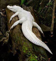 MAI VISTO UN #COCCODRILLO… DI COLORE BIANCO?!? http://www.ilpeggiodellarete.it/mai-visto-un-coccodrillo-di-colore-bianco/ #animali