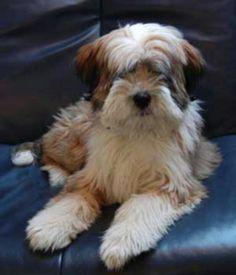 Tibetan terrier... Looks like our Halia girl!