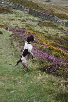 A lucky loose Springer Spaniel investigates the British field. Springer Spaniel Puppies, English Springer Spaniel, Cocker Spaniel, Clumber Spaniel, Chien Springer, I Love Dogs, Cute Dogs, Animals And Pets, Cute Animals